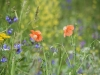 soft-poppies