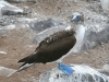 blue-footed-boobie-ii